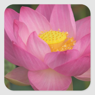 Franklin NC, Perry's Water Garden, Lotus 2 Square Sticker