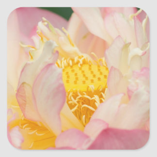 Franklin NC, Perry's Water Garden, Lotus with Square Sticker