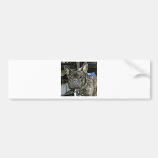 french bulldog brindle bumper sticker