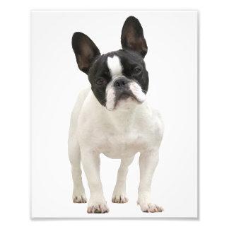 French Bulldog cute photo, gift idea Photo Art