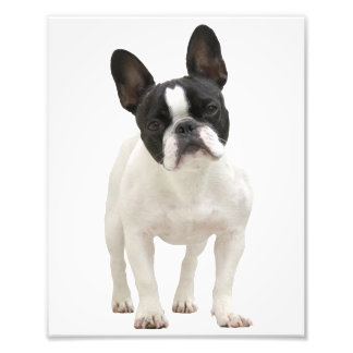 French Bulldog cute photo, gift idea Photo Print