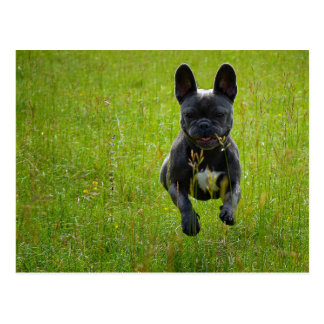 French Bulldog jumping on a high grass field Postcard