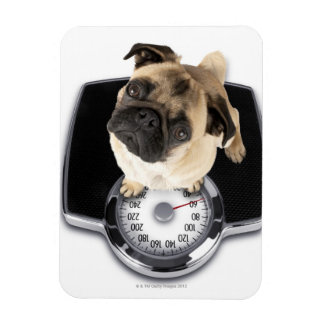 French bulldog on scales looking up at camera rectangular photo magnet
