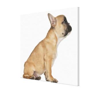 French Bulldog puppy (3,5 months old) Canvas Print