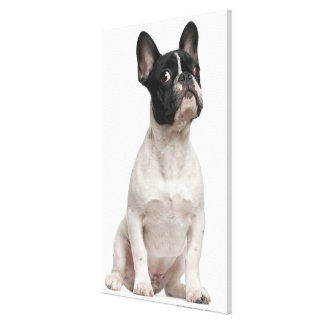 French Bulldog puppy (5 months old) Gallery Wrap Canvas