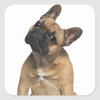 French Bulldog puppy (7 months old) Square Sticker