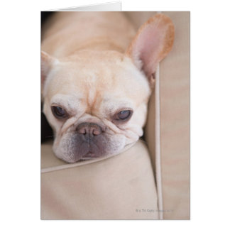 French bulldog resting on sofa card