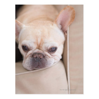 French bulldog resting on sofa postcard