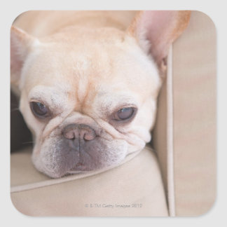 French bulldog resting on sofa square sticker