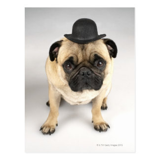 French bulldog wearing bowler, studio shot postcard