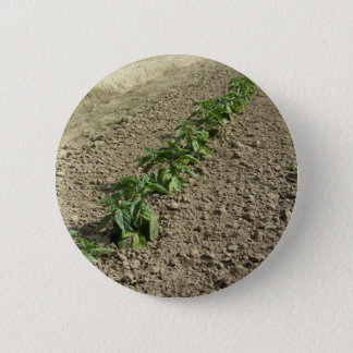 Fresh basil plants growing in the field 6 cm round badge