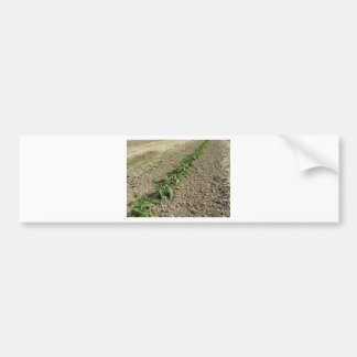 Fresh basil plants growing in the field bumper sticker