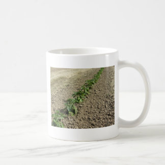 Fresh basil plants growing in the field coffee mug