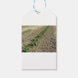 Fresh basil plants growing in the field gift tags
