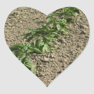 Fresh basil plants growing in the field heart sticker