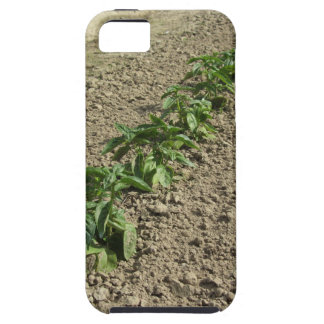 Fresh basil plants growing in the field iPhone 5 cover