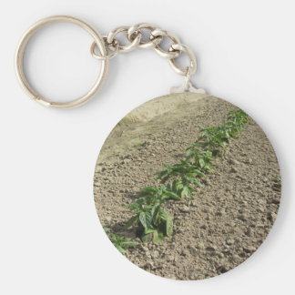 Fresh basil plants growing in the field key ring