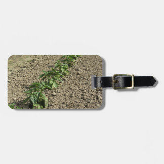 Fresh basil plants growing in the field luggage tag