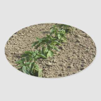 Fresh basil plants growing in the field oval sticker