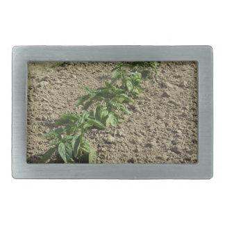 Fresh basil plants growing in the field rectangular belt buckle