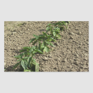 Fresh basil plants growing in the field rectangular sticker