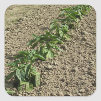 Fresh basil plants growing in the field square sticker