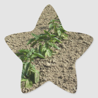 Fresh basil plants growing in the field star sticker