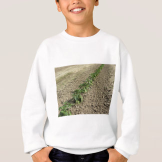 Fresh basil plants growing in the field sweatshirt