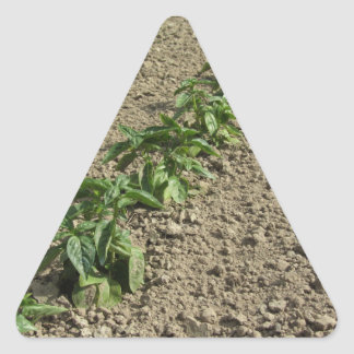 Fresh basil plants growing in the field triangle sticker
