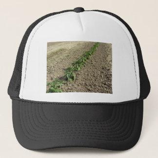 Fresh basil plants growing in the field trucker hat