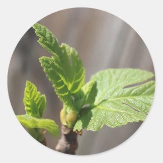 Fresh Fig Leaf Classic Round Sticker