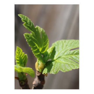 Fresh Fig Leaf Postcard