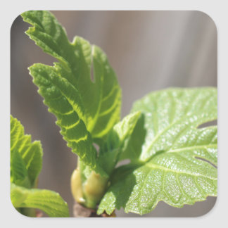 Fresh Fig Leaf Square Sticker