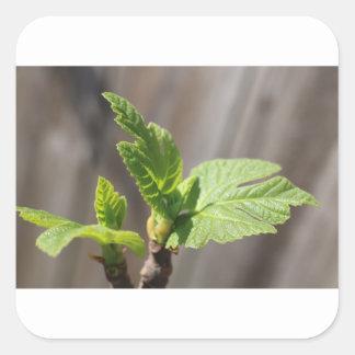 Fresh Fig Leaf Square Sticker
