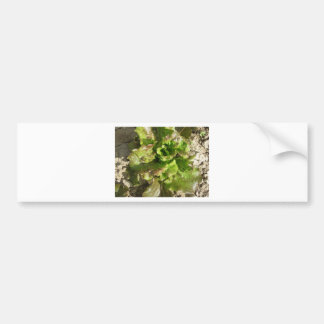 Fresh lettuce growing in the field. Tuscany, Italy Bumper Sticker