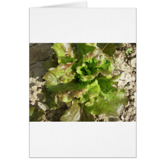 Fresh lettuce growing in the field. Tuscany, Italy Card
