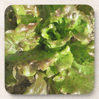 Fresh lettuce growing in the field. Tuscany, Italy Coaster