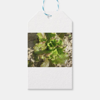 Fresh lettuce growing in the field. Tuscany, Italy Gift Tags