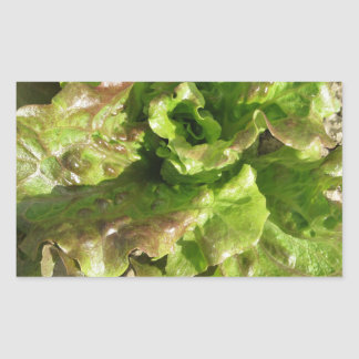 Fresh lettuce growing in the field. Tuscany, Italy Rectangular Sticker
