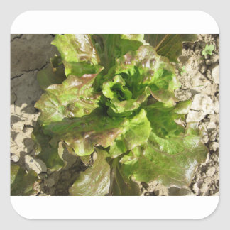Fresh lettuce growing in the field. Tuscany, Italy Square Sticker