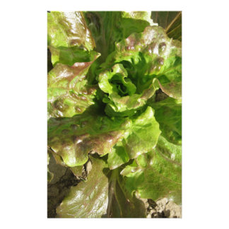 Fresh lettuce growing in the field. Tuscany, Italy Stationery