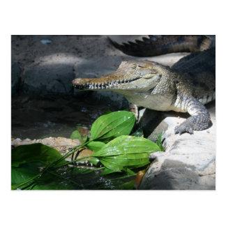 Freshwater Crocodile Postcard