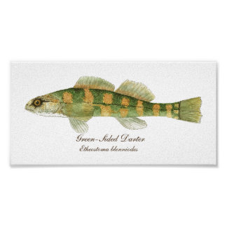 Freshwater Green-sided Darter Poster