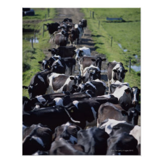 Fresian Dairy Cows, Awaiting Milking, Co Laois, Poster
