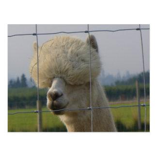 Friendly alpaca postcard