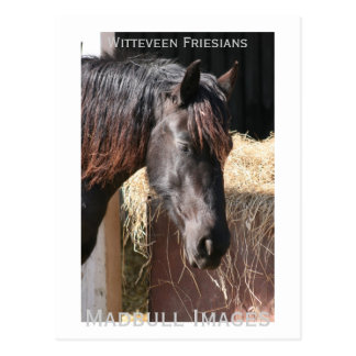 Friesian Mare Postcard