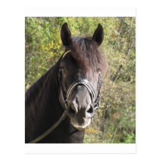 Friesian Stallion Rubin Postcard