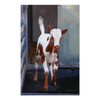 Frisky Calf Poster