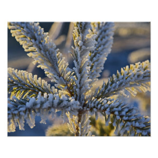 Frost on evergreen tree, Homer, Alaska Poster