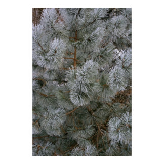 Frosted Pine On A Winter's Morning Poster